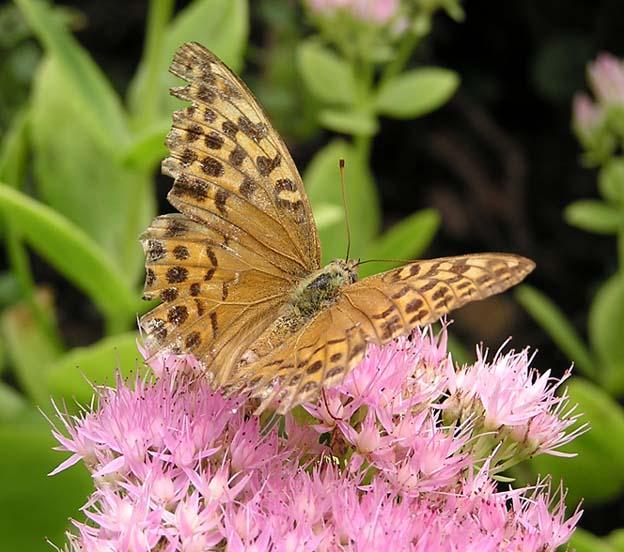 Svet leptira Nepoznati%20-%20leptir%202