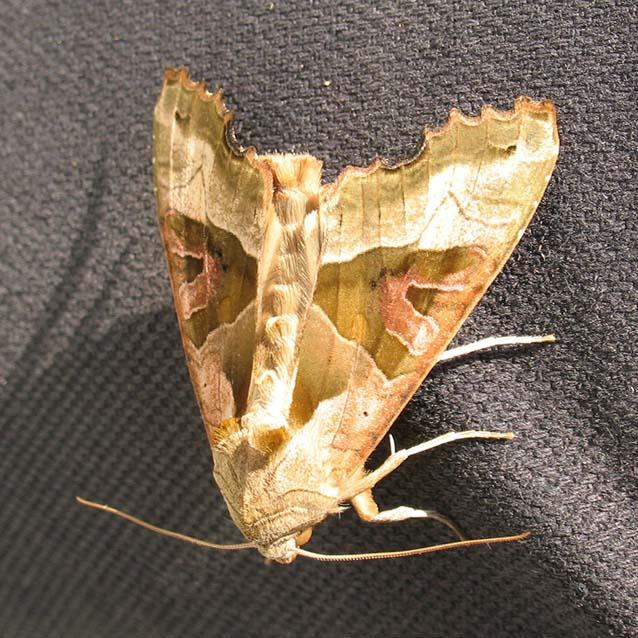 Lepidoptera - Noctuidae et Saturniidae