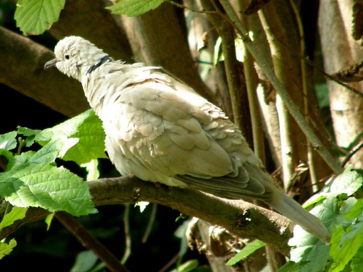 Collared Dove Streptopelia Decaocto